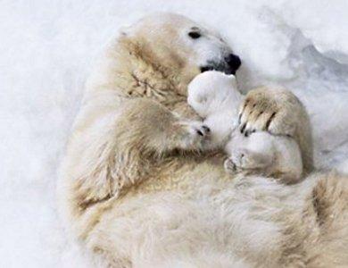 Marka Bering pomaga ratować niedźwiedzie polarne - zdjęcie