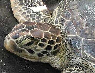 Certina w ochronie żółtwia morskiego. Edycja specjalna Sea Turtle. - zdjęcie